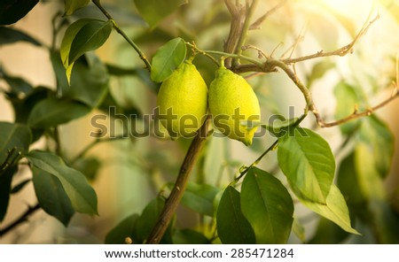 Closeup shot of ripe lemons growing on tree at sunny day