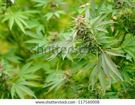 Closeup shot of the green Cannabis plant. - stock photo