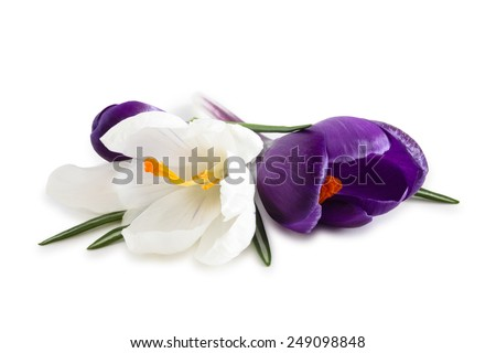 Closeup shot of white and purple crocuses. Isolated on white background. - stock photo