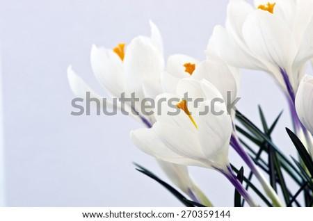 Closeup shot of white crocuses. Isolated on white background. - stock photo