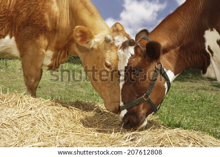 Closeup side view of two brown cows eating hay in field - stock photo