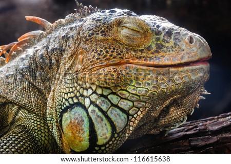 Closeup sleep an iguana face - stock photo