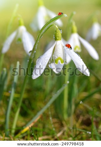 closeup snowdrops with ladybirds  - stock photo