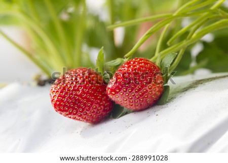 closeup strawberry fruit at the garden - stock photo