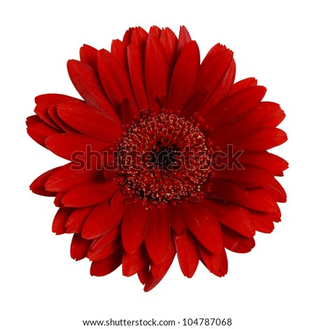 Closeup studio photo of dark red Gerbera Daisy isolated against a pure white background. - stock photo