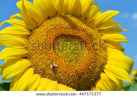 Closeup sunflower and working bee nature background