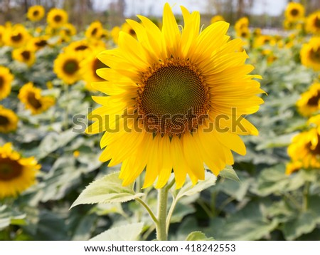 closeup sunflower in field