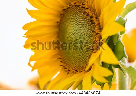 Closeup sunflower natural background. Sunflower blooming. - stock photo