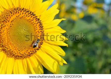 Closeup Sunflower with honey bee on meadow - stock photo