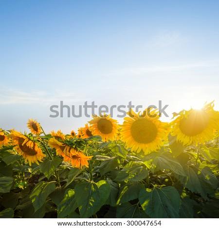 closeup sunflowers at the sunset - stock photo