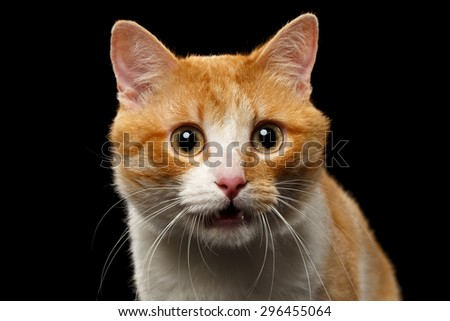 Closeup Surprised Ginger Cat with opened Mouth on Black background - stock photo