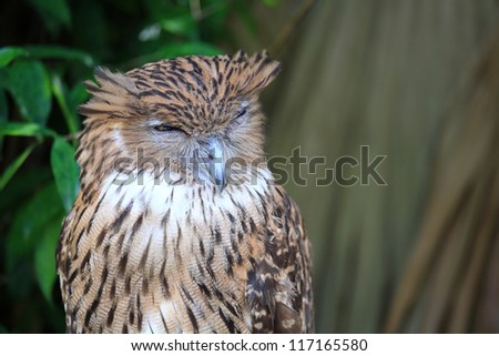Closeup tawny Owl sleeping face