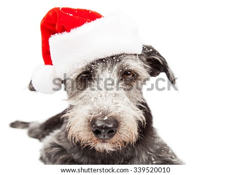 Closeup terrier crossbreed dog wearing Christmas Santa Claus hat with snow on face - stock photo