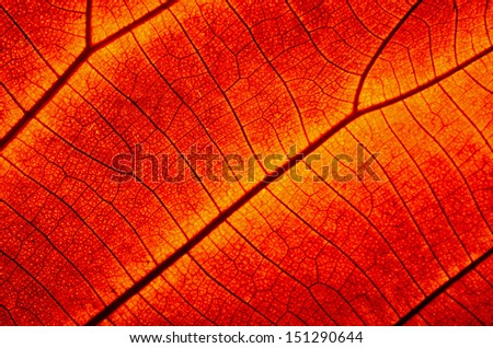 Closeup texture of a red leaf, background