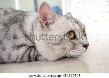 Closeup the Crouching Bored cat - stock photo