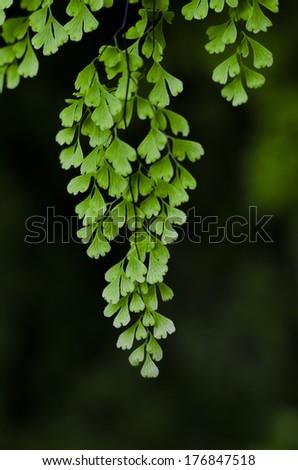 Closeup to a Black Maidenhair fern (Adiantum capillus-veneris) - stock photo