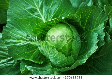 Closeup to cabbage in nature