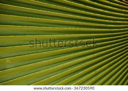 Closeup to green palm leaf Livistona Rotundifolia palm tree texture background - stock photo