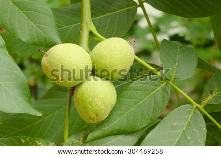 Closeup to raw green walnuts on tree