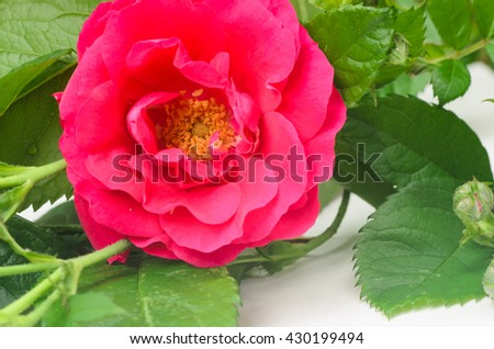 closeup to red rose on white background