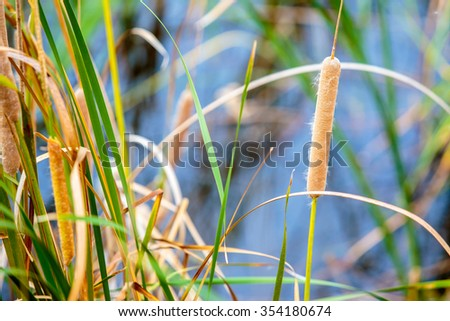 Closeup to sedge or grass flower field at lake or swamp. - stock photo