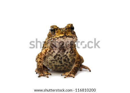 Closeup Toad, Isolated on white background - stock photo