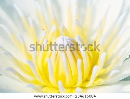 closeup Top view of beautiful Lotus Flower - stock photo