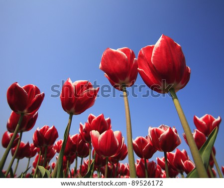 Closeup tulip field in springtime with sky in the background