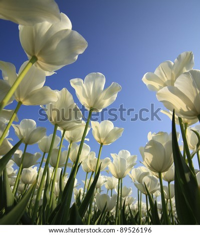 Closeup tulip field in springtime with sky in the background - stock photo