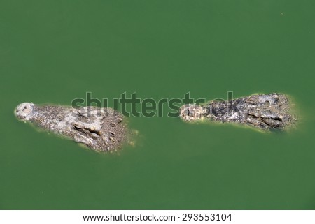 Closeup two chapters of the crocodile. - stock photo