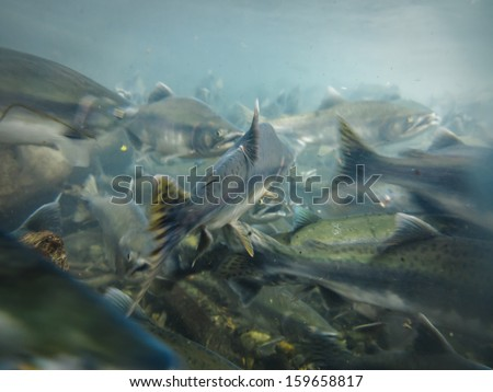Closeup underwater view of a school of sockeye salmon spawning in the Kenai River Alaska