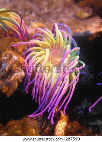 Closeup up a colorful sea anemone... - stock photo