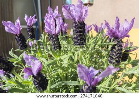 Closeup view lavender flowers - stock photo