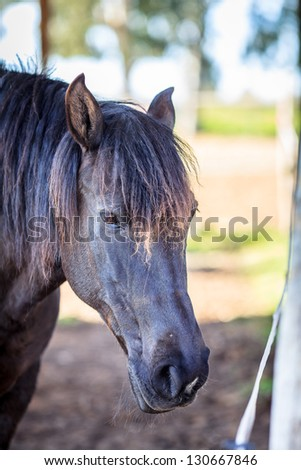 Closeup view of a black male horse