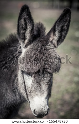 Closeup view of a donkey head with long ears - stock photo