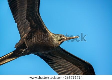 Closeup view of a frigatebird in flight in the Galapagos Islands in Ecuador - stock photo