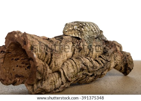 Closeup view of a large gecko clinging to a log, isolated against a white background.