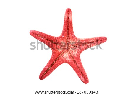 closeup view of a reddish starfish or sea star. Class: Asteroidea. Isolated