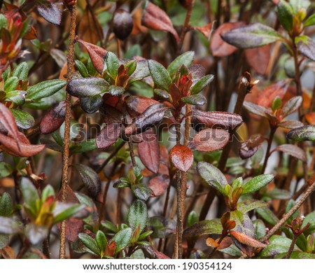 Closeup view of Azalea plant,showing various stages of leaf development. - stock photo