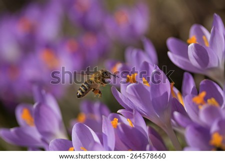 Closeup view of bee to a flower violet crocus (saffron) - stock photo