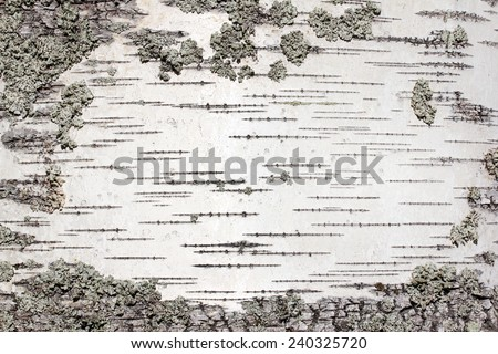 Closeup view of birch tree silver bark texture. Suitable for an abstract background. - stock photo