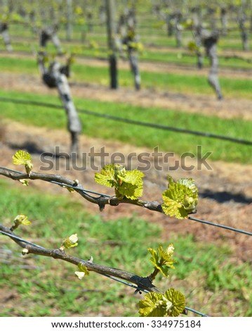 Closeup view of early Spring growth on Sauvignon Blanc Vines in Marlborough, New Zealand - stock photo