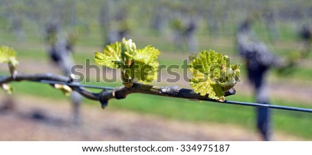 Closeup view of early Spring leaves and buds growth on Sauvignon Blanc Vines in Marlborough, New Zealand