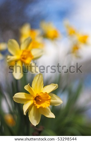 Closeup view of fresh daffodils in a row in a garden in spring. Photo has very short depth of field, with focus on the nearest daffodil. - stock photo