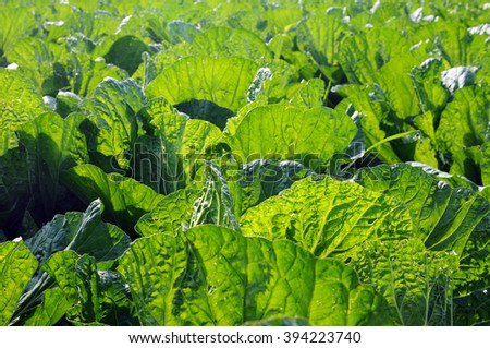 Closeup view of fresh green celery cabbage growing in the fields - stock photo