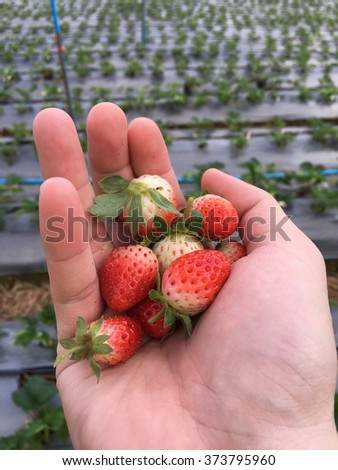 Closeup view of fresh ripe red juicy strawberry in hand with natural background. - stock photo