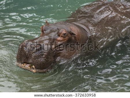 Closeup view of large hippo