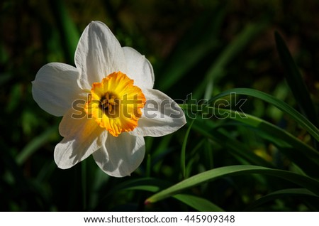 closeup view of of daffodil in garden - stock photo
