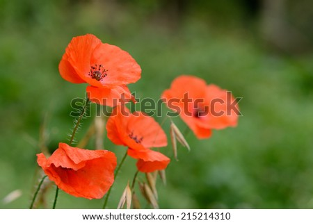 Closeup view of red poppies from side angle - stock photo