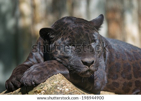 Closeup view of the black leopard is lying on the tree trunk - stock photo